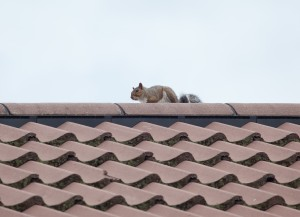 Photo of a squirrel on a roof top