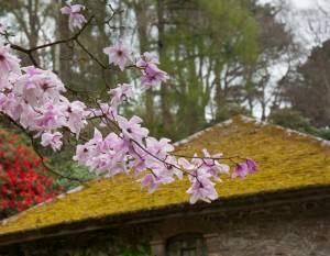 Flowers of the pink Magnolia Stellata shrub in front of old moss covered tile roof
